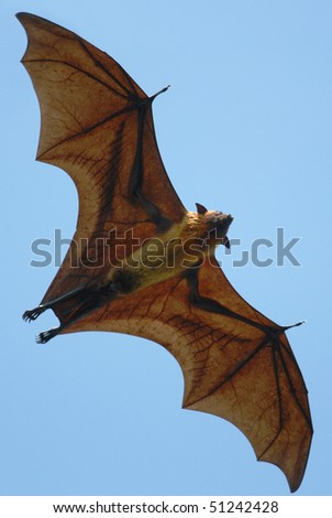 Indian Flying Fox flying over Tissamaharama, Sri Lanka