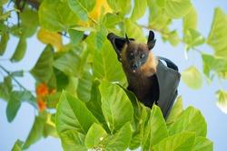 Indian flying fox, Greater Indian fruit bat (Pteropus giganteus)