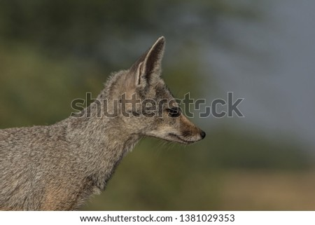 Indian fox (Vulpes bengalensis),also known as Bengal fox close up. The ears have the same colour as the nape or maybe darker, but not having a dark patch as in V. vulpes.