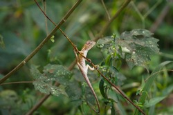 Indian garden lizard with green leafs and wood in forest