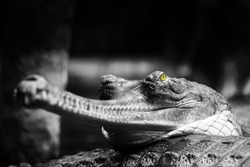 Indian gharial black and white