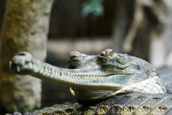 Indian gharial is resting