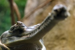 Indian gharial look from down