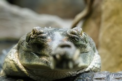 Indian gharial very close up