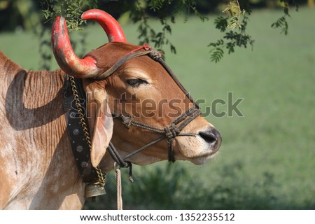 Indian Gir Bull, Rural Transportation