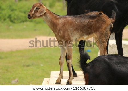 Indian goat Images and Stock Photos - Page: 4 - Avopix com