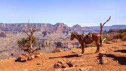 Indian Horse at Cedar Ridge in Grand Canyon National Park in Ari