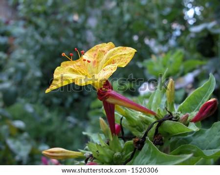Indian Jasmine yellow flower