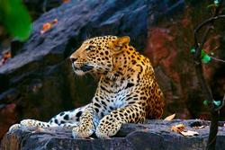 Indian Leopard, Panthera pardus fusca, Ranthambhore Tiger Reserve, Rajasthan