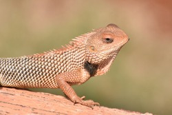 Indian Lizard available in indian forests