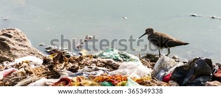 Indian Long-billed Dowitcher, wading in water surrounded by human garbage waste. These birds are struggling to survive due to result of pollution in their feeding ground. #365349338