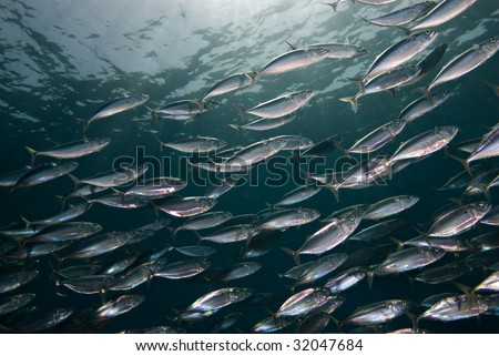 Indian mackerel (Rastrelliger kanagurta)