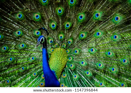 Indian Male Peacock #1147396844