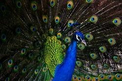 Indian Male Peacock (Pavo cristatus)