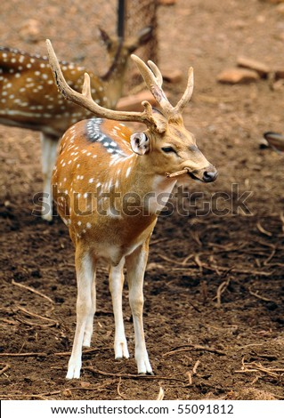 Indian male spotted deer chewing on branch