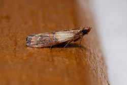 Indian Meal Moth of the species Plodia interpunctella