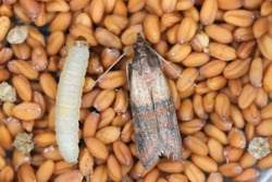 Indian mealmoth Plodia interpunctella of a pyraloid moth of the family Pyralidae is common pest of stored products and pest of food in homes. Moth on seeds.