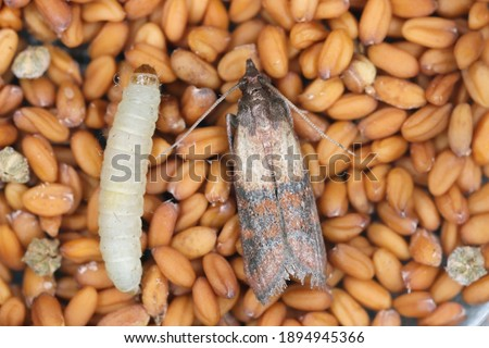 Indian mealmoth Plodia interpunctella of a pyraloid moth of the family Pyralidae is common pest of stored products and pest of food in homes. Moth on seeds. Foto d'archivio ©