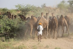 Indian men and camels attended the annual Pushkar Camel Mela. This fair is the largest camel trading fair in the world.