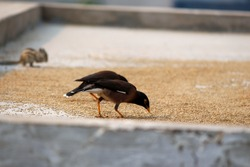 Indian Miner Bird Eating Grains On Roof