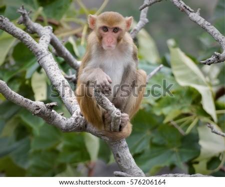 Indian Monkey/Rhesus Macaque #576206164