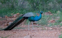 Indian National Bird Wild Beautiful Male Peacock sighted with closed feathers and having rice which is spread by humans as food for birds in ground at green forest plain in Tamilnadu South India Asia
