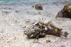 Indian ocean walkman on the seafloor, demon stinger, devil stinger, sea goblin