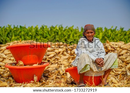 indian old woman harvesting corn at agriculture field Stok fotoğraf ©