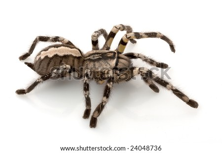 Indian Ornamental Tarantula Indian Ornamental Tarantula
