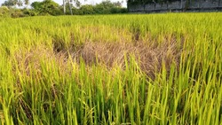 indian Paddy Rice Field affected by brown Hopper disease