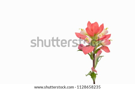 Indian paintbrush isolated on white background ( with clipping path )