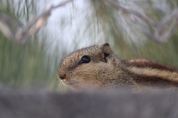 Indian palm squirrel or three-striped palm squirrel (Funambulus palmarum)  , is a species of rodent in the family Sciuridae found naturally in India , With blur sky and green nature in background