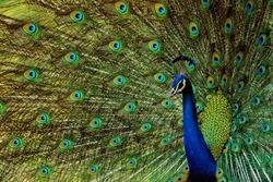 indian peacock -beautiful bird-peafowl-walk time peacock-water drink time peacock-white peacock-birds