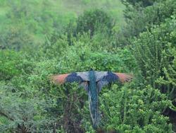Indian Peacock flying wings spread top view wildlife nature Maharashtra India
