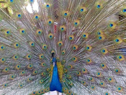 Indian peacock male with wings spread