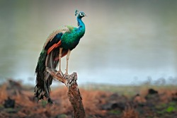 Indian Peafoul, bird displays courtship in tree window, water lake with Ratnhamore ruin, India. Indian Peafowl, Pavo cristatus, blue and green exotic bird from India. Travelling Asia.