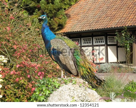 Indian Peafowl or Blue Peafowl male (Pavo cristatus)