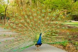 Indian peafowl or Pavo cristatus