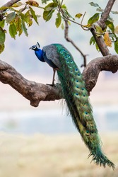 indian peafowl - peacock- in Kanha National Park in India