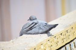 Indian Pigeon OR Rock Dove - The rock dove, rock pigeon, or common pigeon is a member of the bird family Columbidae. In common usage, this bird is often simply referred to as the