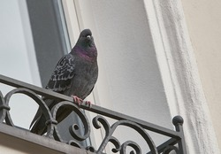 Indian Pigeon sitting on ledge of terrace and posing