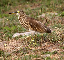 Indian pond heron or paddybird is found around lakes, rivers, ponds, marshes and wetlands hunting for fish, crustaceans, mollusks and frogs. Their camouflage is excellent