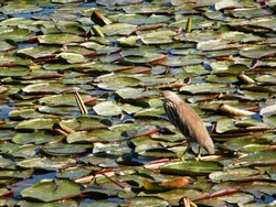 Indian pond heron.Paddy Bird sitting on a water lily pad