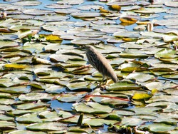 Indian pond heron. Paddy Bird sitting on a water lily pad