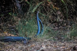 Indian rat snakes mating in nature before monsoon.These are members – along with kingsnakes, milk snakes, vine snakes and indigo snakes – of the subfamily Colubrinae of the family Colubridae.