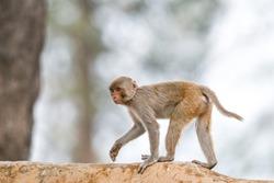 Indian Rhesus Macaque Monkey Jim Corbett National Park, India