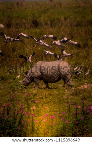 Indian Rhinoceros also called the Greater One Horned Rhinoceros picture is taken at Kaziranga National Park in India.