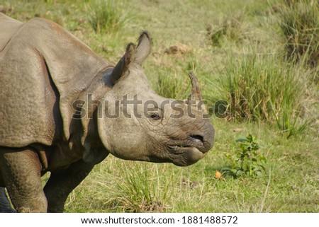 Indian Rhinoceros in chitin Nationalpark, Nepal.  Photo stock ©