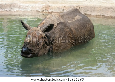 Indian Rhinoceros, (Rhinoceros unicornis) cooling off in pool of water
