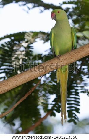Indian Ring necked Parrot in Sasan Gir , India